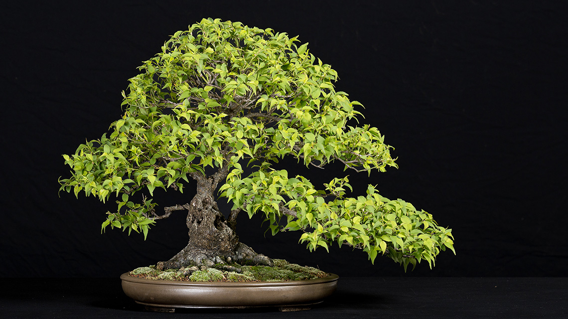 Golden State Bonsai Federation